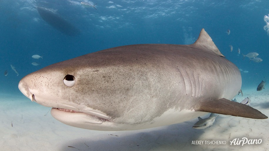 what kind of sharks are in the bahamas
