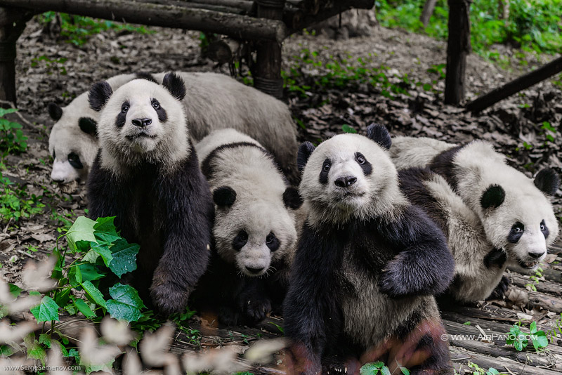 Chengdu Research Base of Giant Panda Breeding, China