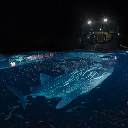 Whale shark split panorama. Maldives