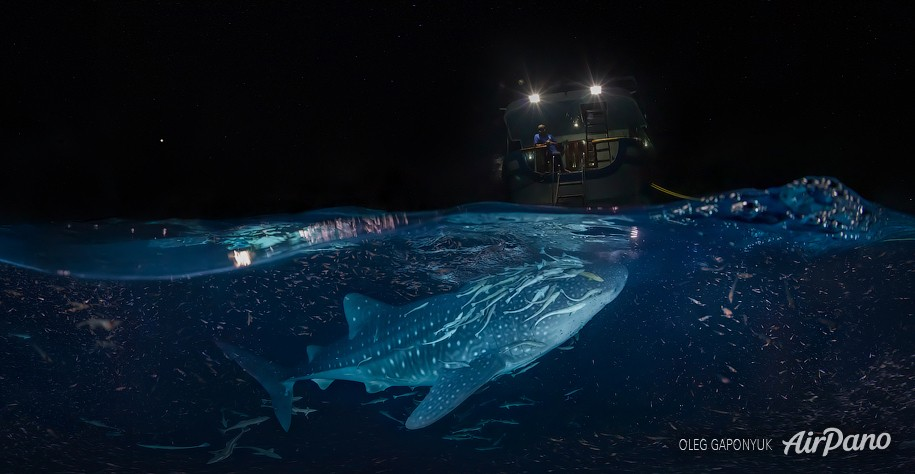 Whale shark at night. Maldives