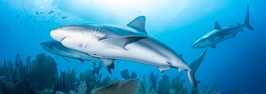 Diving with sharks • AirPano.com • 360° Aerial Panoramas • 360° Virtual Tours Around the World