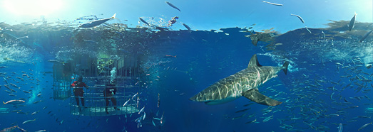 Diving with great white shark • AirPano.com • 360° Aerial Panoramas • 360° Virtual Tours Around the World