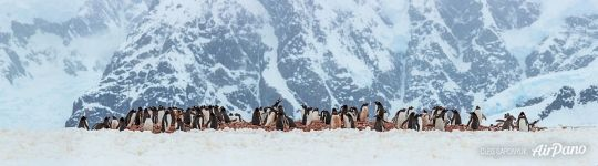 Penguins in Antarctica. Panorama
