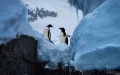 Penguins among the ice of Antarctica