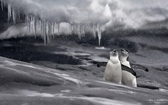 A couple of chinstrap penguins during a snowfall