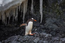 Penguins in Antarctica #15