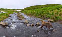 Bear in the Kambalnaya river #3