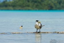 Greater crested tern. Rangiroa