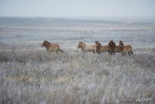 Harem group of Przewalski's horses in winter. Pre-Ural Steppe