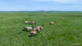 Family group of Przewalski's horses