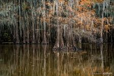 Bald cypress swamp