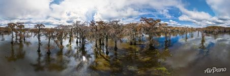 Cypress grove in Texas. Panorama