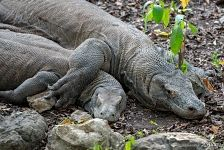 Couple of komodo dragons
