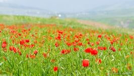 Blooming Poppies in the Panj River Valley