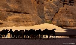 Camels in Guelta d'Archei