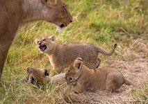Young lions #4