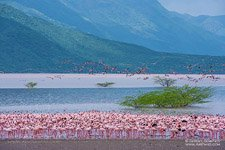 Flamingo, Kenya, Lake Bogoria #9