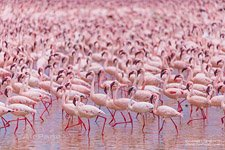 Flamingo, Kenya, Lake Bogoria #17