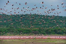 Flamingo, Kenya, Lake Bogoria #22