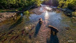 Bears on Kurile Lake