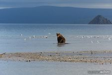 Bear in the Kurile Lake