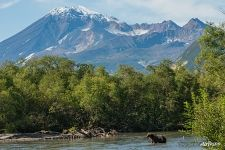 Bear among the nature of Kamchatka