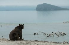 Bear on the shore