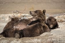 Bear family: mom and kids