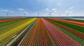 Tulip fields in Netherlands #11