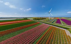 Tulip fields in Netherlands #10