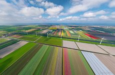 Tulip fields in Netherlands #9