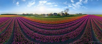 Tulip fields in Netherlands #2