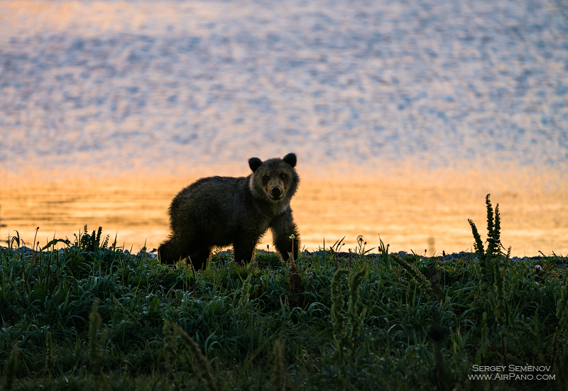 Bear in the Kronotsky Reserve, Kamchatka