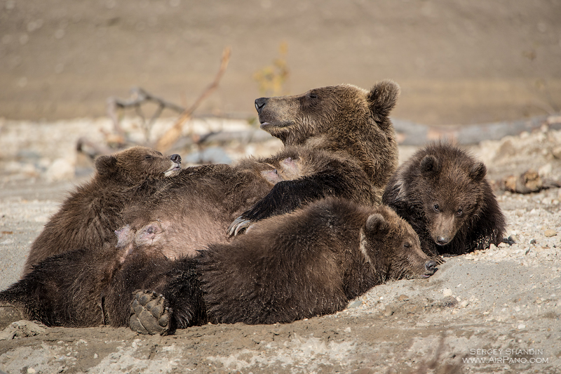 Bears in the Kronotsky Reserve, Kamchatka