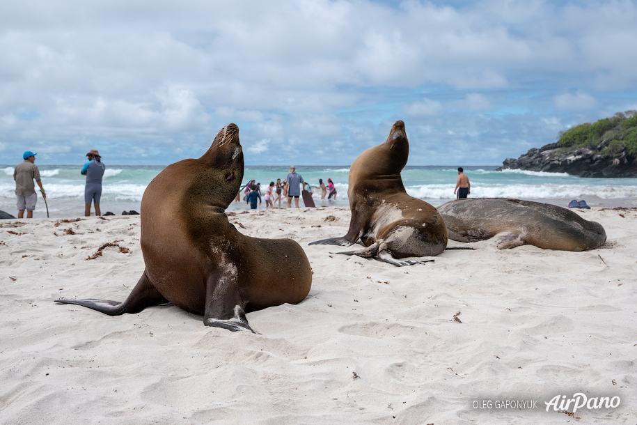 Galápagos fur seals