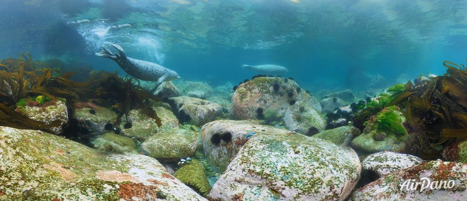 Diving with spotted seals. Sea of Japan, Russia