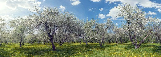 Blooming apple orchards. Moscow, Kolomenskoye - AirPano.com • 360 Degree Aerial Panorama • 3D Virtual Tours Around the World