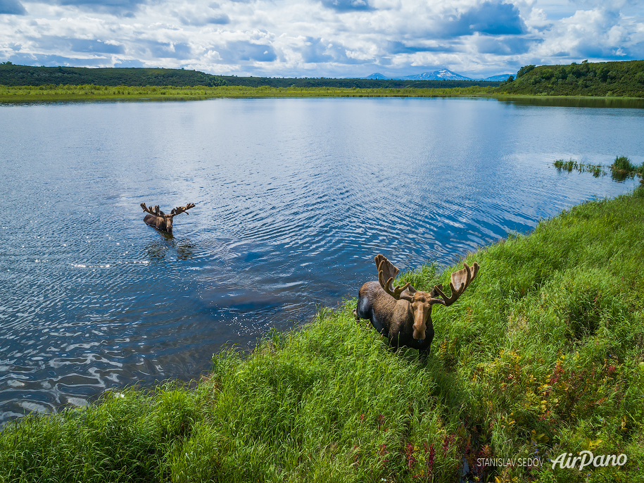 Moose on Kronotskoye Lake