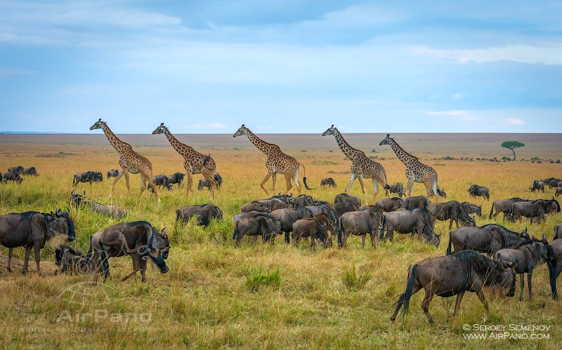Giraffes and Gnu