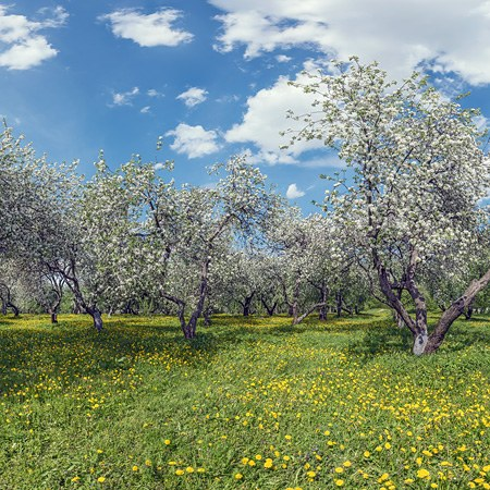 Blooming apple orchards. Moscow, Kolomenskoye