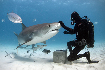 Sharks feeding. Bahamas