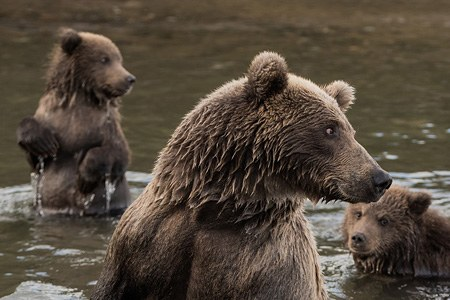 Bears of Kamchatka. Kambalnaya River