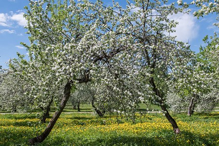 Moscow, Kolomenskoye. Blooming apple orchards