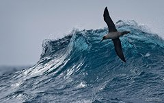 Albatross and waves of the Southern Ocean
