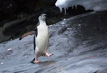 Penguins in Antarctica #42