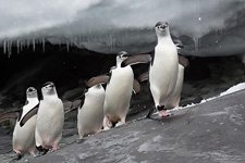 Penguins in Antarctica #49