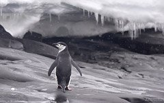 Chinstrap penguin and snowfall
