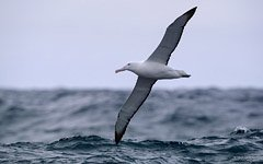 Flight of the albatross above the Antarctica