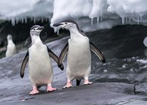 Penguins in Antarctica #43