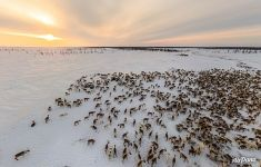 Deer herd of Nenets people